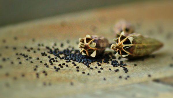 black poppy seeds split open on a table